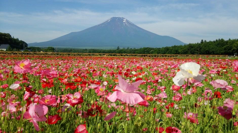 山中湖花の都公園/Lake Yamanaka Flower Park