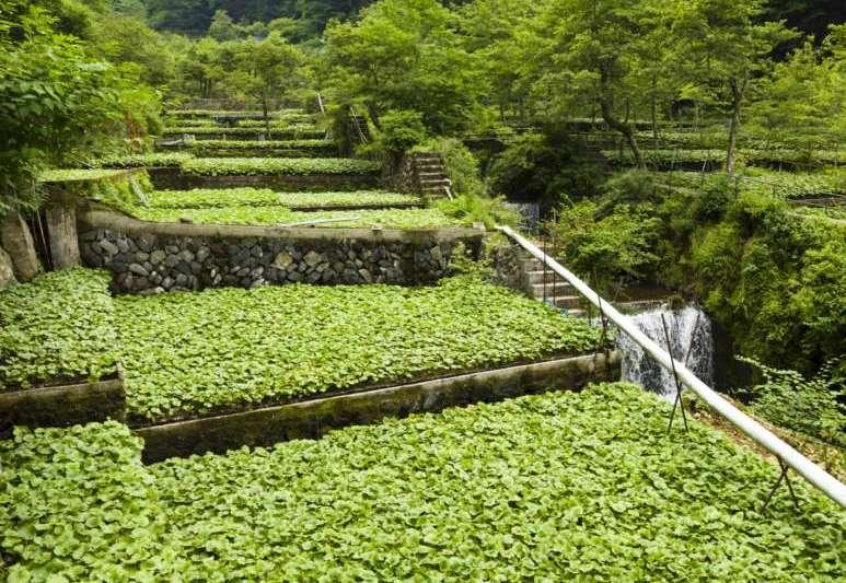 Traditional Wasabi Cultivation in Shizuoka