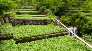Traditional Wasabi Cultivation in Shizuoka