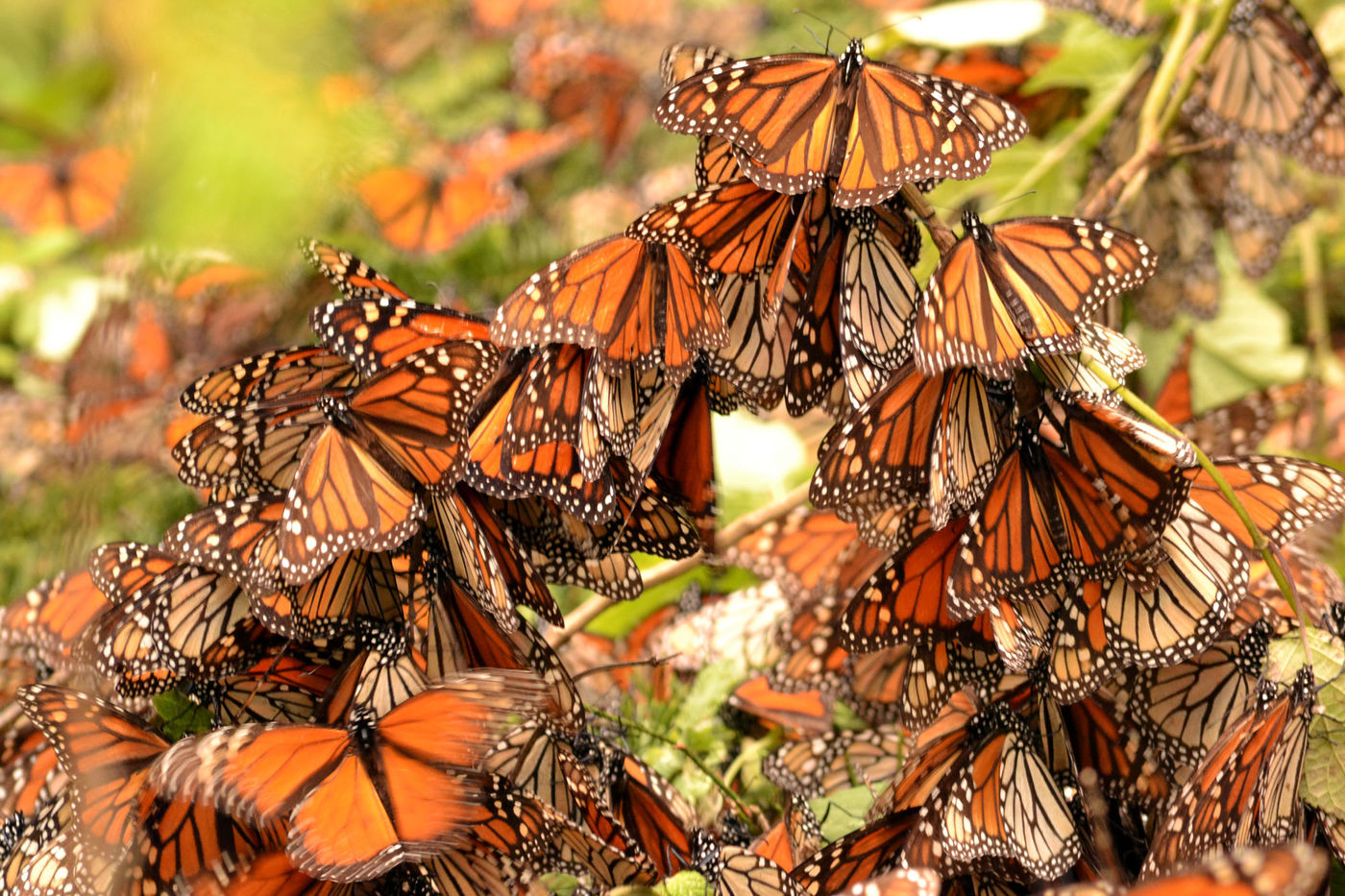 Following The Monarch Butterflies To Mexico Field Museum