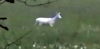 The white buck