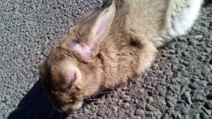 A live, diseased hare found in South Norfolk at the beginning of October