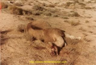 La photo du chameau a été prise le lendemain. (Là bas le chameau coute plus cher mort que vivant et encore plus cher s'il a été écrasé par un étranger), les cours de la bourse du chameau sont très variables.