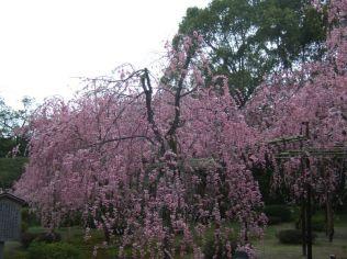 cerisiers en fleurs, autre symbole du Japon