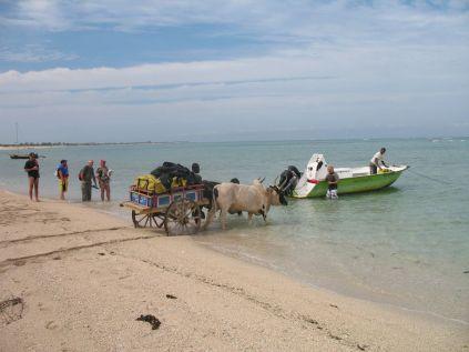 charette a zebu pour acceder au bateau