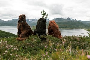 two flatcoated retrievers and an irish setter looking down a hill