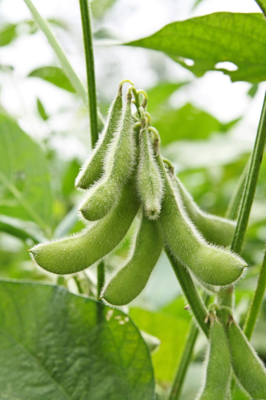 Cuisine en cours   Plant soja Fotolia