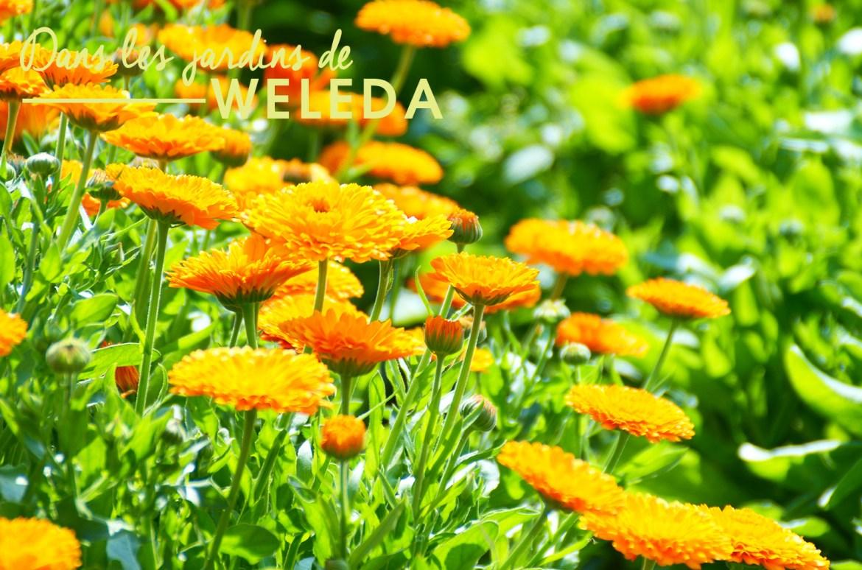 weleda-8