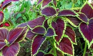 Αυτό το βότανο δεν πρέπει να λείπει από κανένα σπίτι – Δείτε τις απίστευτες θεραπευτικές του ιδιότητες!