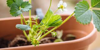 Πέντε συμβουλές για φύτευση φράουλας