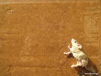 Φυσική προστασία από ποντίκια μυρμήγκια κουνούπια μύγες ψείρες κοριούς