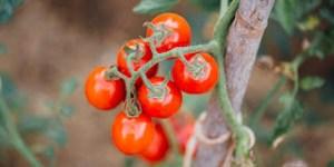 7 μυστικά για καλλιέργεια ντομάτας