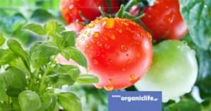 Γιατί πρέπει μαζί με τις βιολογικές ντομάτες, να φυτεύουμε και βασιλικό