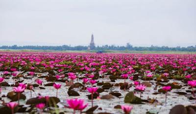 Η υπέροχη λίμνη των λωτών στην Ταϊλάνδη!