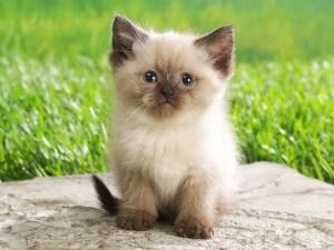 Πότε χρειάζεται κούρεμα η γάτα;