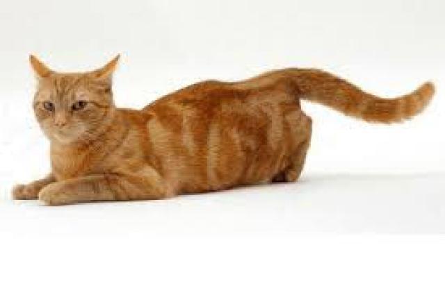 Παθήσεις καρδιάς και πνευμόνων της γάτας