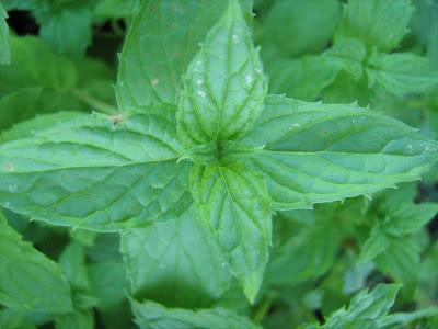 Δυόσμος-μέντα: σπορά φύτεμα καλλιέργεια