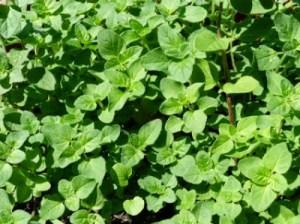 Σπορά αρωματικών φυτών και βοτάνων