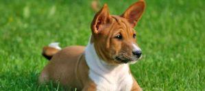 Εσύ το ήξερες ότι υπάρχει σκύλος που δεν γαυγίζει;