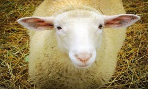 30.000 ευρώ πρόστιμο σε κτηνοτρόφο επειδή έσφαξε αρνί