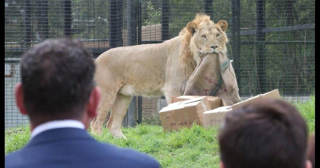 ΣΟΚ στις ΗΠΑ: Λιοντάρι έφαγε 22χρονη κοπέλα