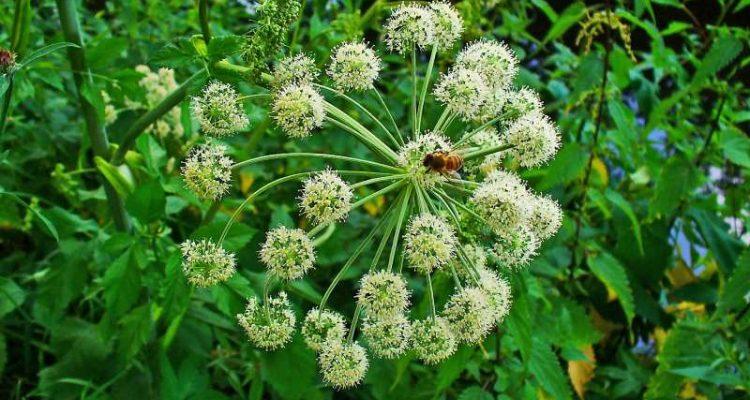 Αγγελική: Οι ιδιότητες του θεραπευτικού φυτού και τρόποι παρασκευής