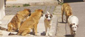 Επιθετικότητα σκύλου προς σκύλο – Υπάρχει λύση ;
