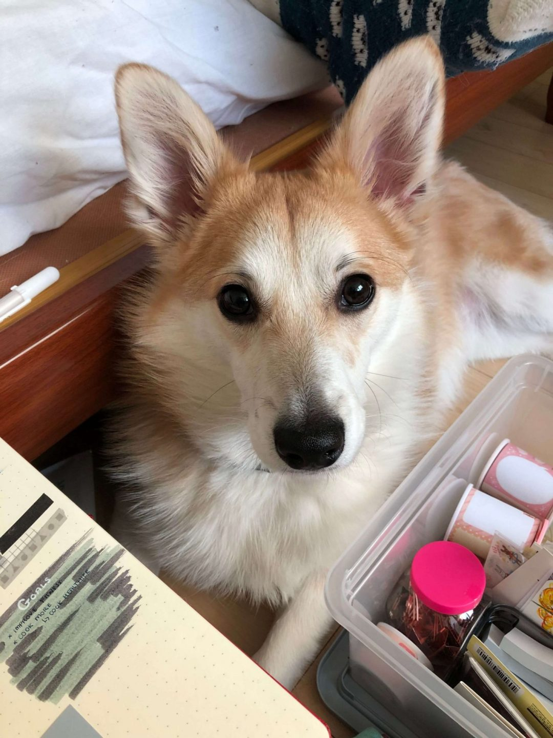 An image of Toast, Fii's corgi puppy, lying down with two boxes of stationery in front of him. He is looking directly at the camera.