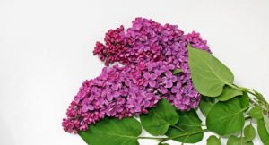 lilac-1386019_640