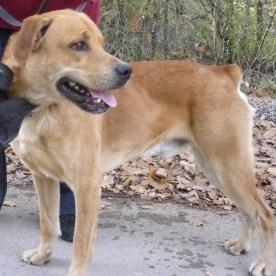 Caruso, einfarbiger Hund as einer Zucht mit gestromten Filas