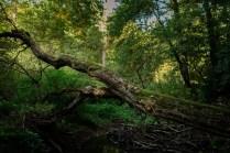 old fallen tree in forest
