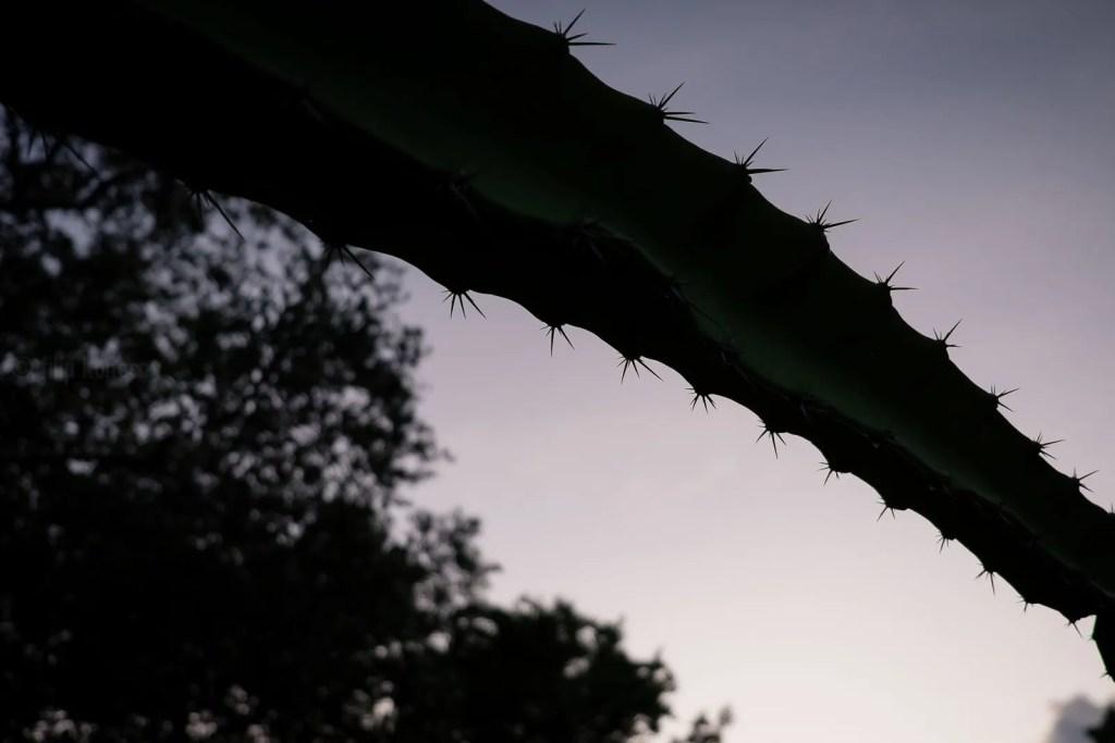 cactus agains florida keys sunset sky