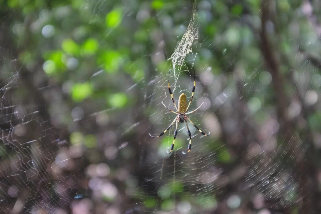 banana spider in tropical hammocks