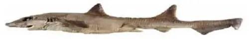 Gollum suluensis shark