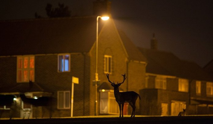 Deer in London
