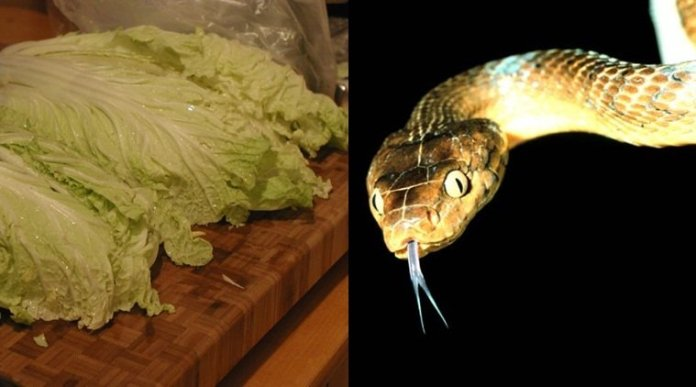 snake with cabbage