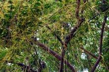 cascuta plant