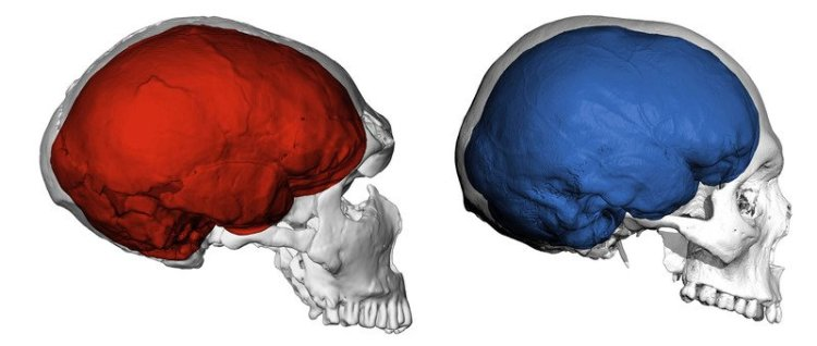 The difference between a human (right) and Neanderthal (left) brain. Could the explanation for schizophrenia lie somewhere in there?