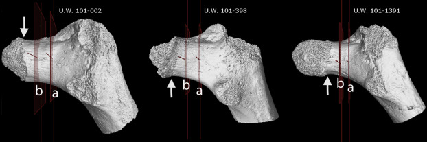 Homo naledi legs with the locations of CT scans taken