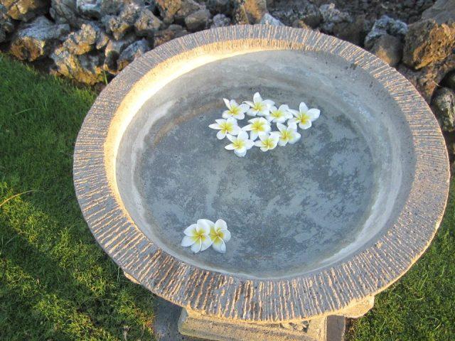 Plumeria flowers @ the resort