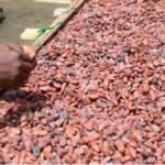Ghana: les achats de cacao reculent de 23,9%