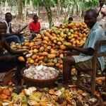 Ghana: le Cocobod obtient 1,8 milliard de dollars pour la prochaine campagne de cacaoyère