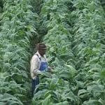 Zimbabwe: Les exportations de tabac rapportent 500 millions de dollars de devises