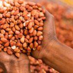 Quel avenir pour l'arachide au Sénégal ?