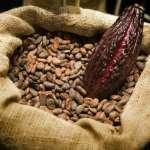 Cacao : vers une baisse du prix d'achat aux paysans en Côte d'Ivoire