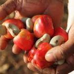 Anacarde: le Bénin se projette au delà des 300 000 tonnes