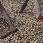 Bénin : nouveau tour de vis  sur l'exportation de la noix de cajou