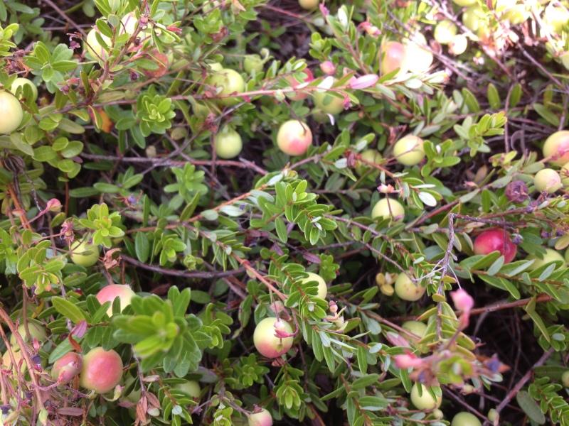 Unripe Cranberries
