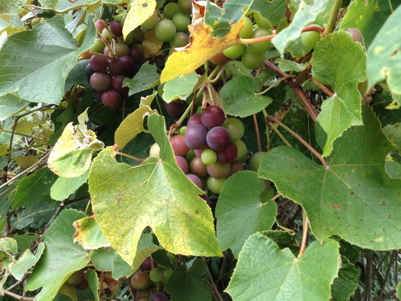 Wild Grapes 2