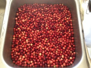 foraging for wild cranberries